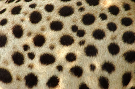 mottled skin: Cheetah skin Stock Photo