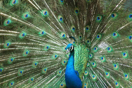 peacock wheel: Blue Peacock male watching other peacocks in the rain