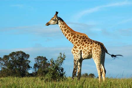 Giraffe - Kameelperd (Giraffa camelopardalis) alking in a game park in South Africa Stock Photo