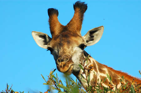 A giraffe head portrait eating from a tree in a game park in South Africa photo