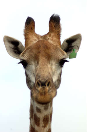 A giraffe head portrait isolated from front in a game park in South Africa photo