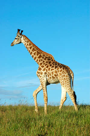 Giraffe - Kameelperd (Giraffa camelopardalis) in a game park in South Africa photo