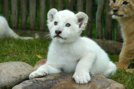 A rare cute white lion cub head portrait watching other white lion cubs in a game park in South Africa
