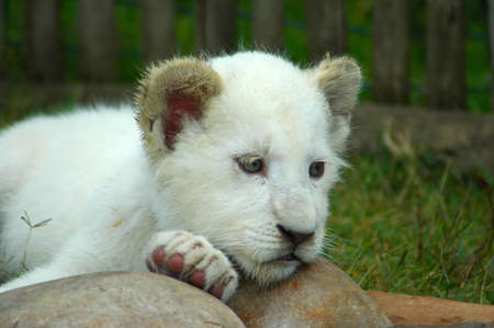 A seven weeks old cute rare white lion cub head portrait watching other white lion cubs in a game park in South Africa photo