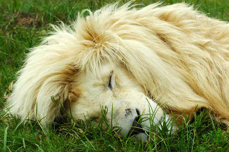 A rare white lion male head portrait sleeping in a game park in South Africa photo
