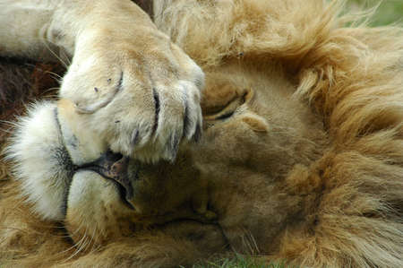 A big lazy inactive resting lion head portrait with big mane being bored and watching other lions in a game park in South Africa Stock Photo