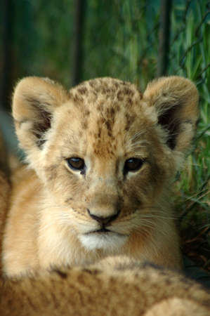 A little lion cub facing the camera watching other lion cubs in a game reserve in South Africa Stock Photo