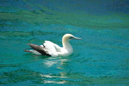 waterbird: A Cape Gannet waterbird (Morus capensis) swimming in the Indian Ocean in South Africa