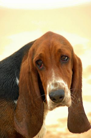 A Basset Hound dog head portrait watching other dogs photo