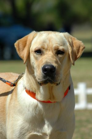 A creme Labrador Retriever dog head portrait watching other dogs in the park