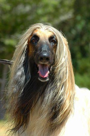 tete chien: L�vrier afghan chien t�te portrait regarder les autres chiens  Banque d'images