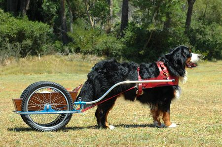 A beautiful big Bernese Mountain dog doing carting in the park
