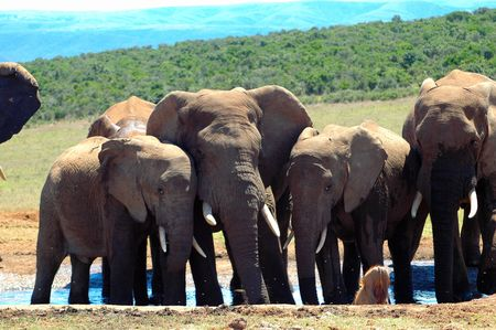 africana: Active African elephants together in a herd in South Africa. One elephant bull has got very big ears, trunk and tusks. They are drinking at a water hole in the game park. Stock Photo