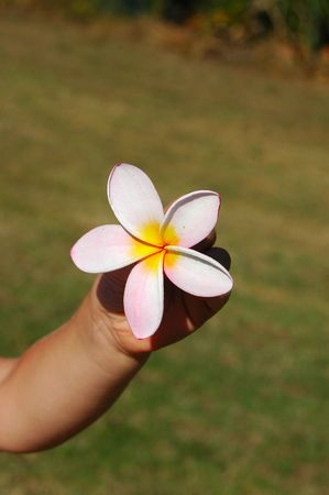 White hand of a little caucasian child with a Frangipani flower in the garden in summertime  photo