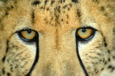 Beautiful eyes closeup of an alert African Cheetah watching other Cheetahs in a game reserve in South Africa  Stock Photo