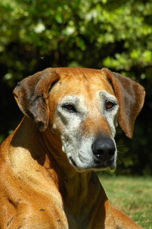 A beautiful grey old Rhodesian Ridgeback hound dog head portrait watching in a garden in South Africa