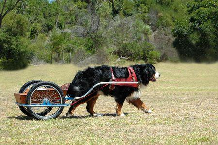 A beautiful big Bernese Mountain dog doing carting in the park  photo