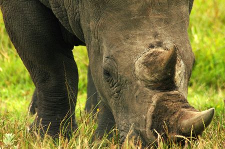 A head closeup of a big African white Rhinocerus wih huge horns grazing in a game reserve in South Africa  Stock Photo