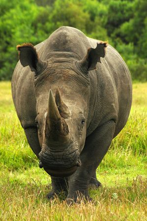 rhinoceros: White Rhinoceros - Witrenoster (Ceratotherium simum) watching other rhinoceroses and walking in a game park in South Africa