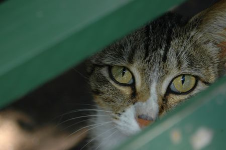 laths: Two beautiful eyes of a grey tiger cat sitting underneath a bench watching through the green wooden laths (focus on cats eyes)