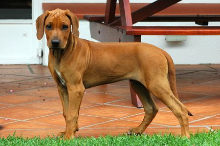 A beautiful Rhodesian Ridgeback puppy hound dog with cute expression in face