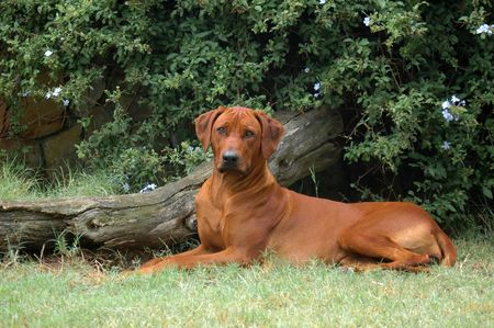 ridgebacks: A beautiful and proud Rhodesian Ridgeback hound dog resting on the lawn and watching other dogs in the park