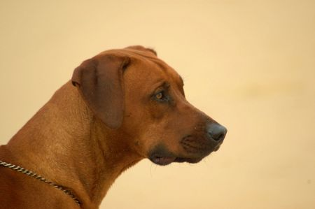 ridgebacks: A beautiful and proud Rhodesian Ridgeback hound dog resting and watching other dogs in the park