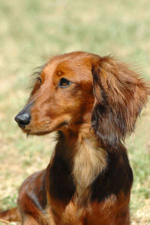 A beautiful little brown long haired miniature Dachshund hound dog head portrait with cute expression in the face watching other dogs in the park Stock Photo - 863316