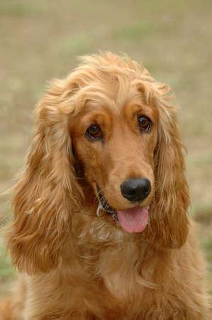 tete chien: Un beau chien Cocker Spaniel portrait t�te avec cute expression dans le visage � regarder les autres chiens dans le parc en plein air Banque d'images