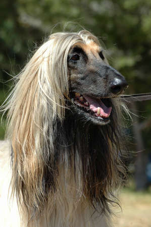 A beautiful Afghan hound dog head portrait with alert expression in the face watching other dogs in the park  photo