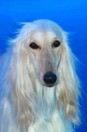 tete chien: Un beau portrait de t�te de chien de chien de chasse afghan avec lexpression triste dans le visage observant dautres chiens