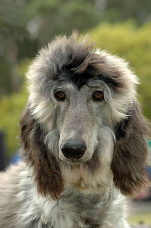 afghan: A beautiful Afghan hound puppy dog head portrait with cute expression in the face watching other dogs in the park  Stock Photo