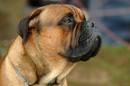 bullmastiff: A big Bullmastiff dog head portrait with sad expression in the face watching other dogs in the park outdoors