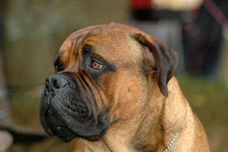 A big Bullmastiff dog head portrait with sad expression in the face watching other dogs in the park outdoors