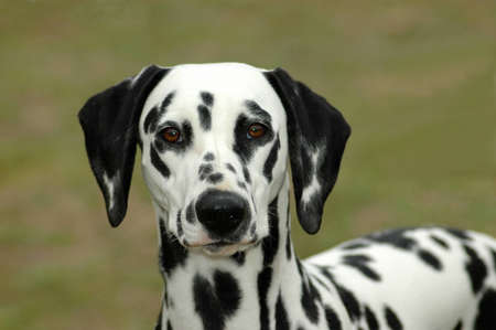 A beautiful Dalmatian dog head portrait with cute expression in the face watching other dogs in the park