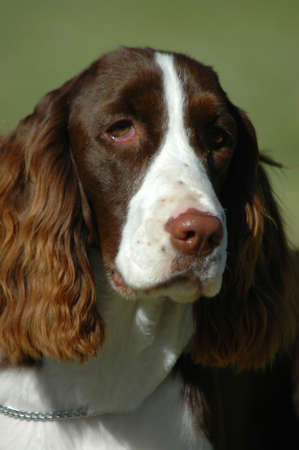 springer: A beautiful English Springer Spaniel dog head portrait with cute expression in the face watching other dogs in the park