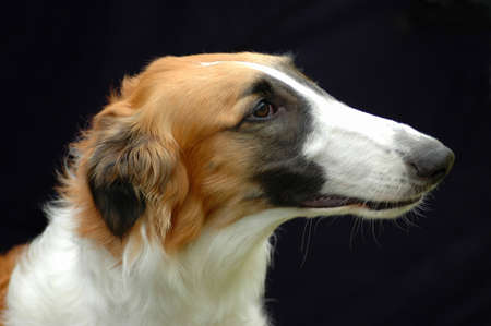 A beautiful Borzoi windhund dog head profile portrait with proud expression in the face watching other dogs