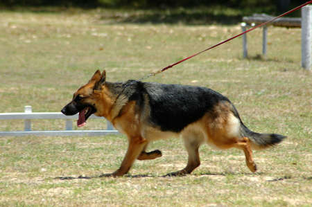 A beautiful German Shepherd dog moving and pulling on the lead in the park photo