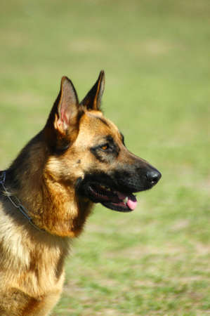 head for: A beautiful German Shepherd dog head portrait with cute expression in the face watching other dogs in the park Stock Photo