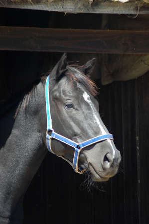 head for: A beautiful black horse head portrait with an alert expression in the face wearing a blue halter and watching other horses out of the stable on a farm