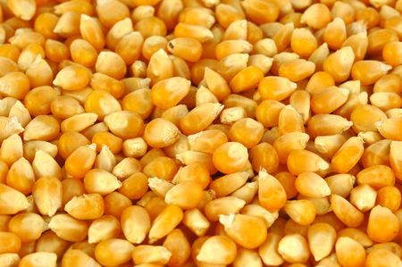 The yellow background of fresh corn  photo