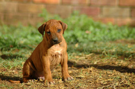 rhodesians: A beautiful little Rhodesian Ridgeback hound puppy dog head portrait with cute and sad expression in the face watching other dogs in the backyard