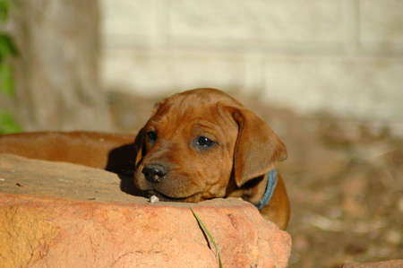 ridgebacks: A beautiful little Rhodesian Ridgeback hound dog puppy head portrait with cute expression in the face hiding behind a big stone and watching other dogs in the backyard