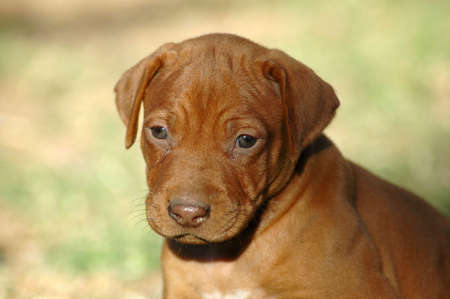 ridgebacks: A beautiful little livernosed Rhodesian Ridgeback hound puppy dog head portrait with sad expression in the pretty face watching other dogs in the backyard outdoors