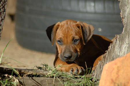 rhodesians: A beautiful little Rhodesian Ridgeback hound puppy dog head portrait with cute expression in the pretty face watching other dogs in the backyard outdoors