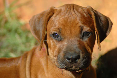 ridgebacks: A beautiful little Rhodesian Ridgeback hound puppy dog head portrait with cute expression in the pretty face watching other dogs in the backyard outdoors