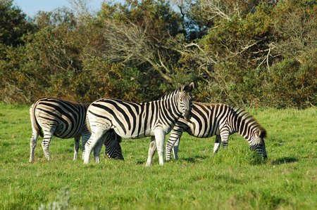 A herd of three zebras grazing in a game park in South Africa  photo