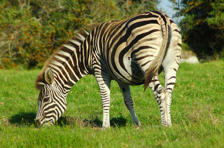 conservation grazing: A beautiful Cape Mountain Zebra grazing in a game park in South Africa  Stock Photo