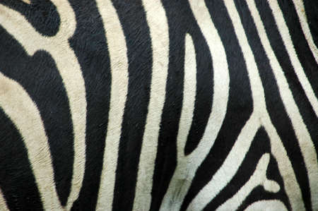 A skin background closeup of a beautiful real black and white Zebra stripes in rain