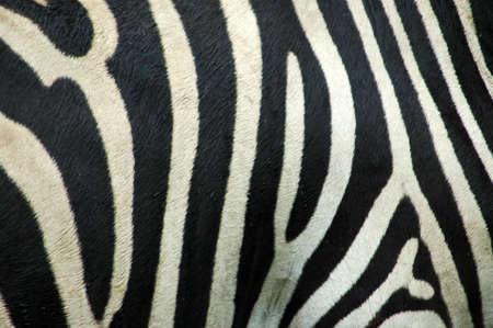zebra head: A skin background closeup of a beautiful real black and white Zebra stripes in rain